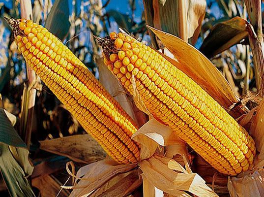 Сахарная кукуруза не доехала до Санкт-Петербурга из-за допущенных при перевозке нарушений