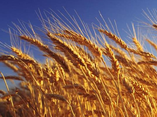 Российская пшеница дорожает на фоне проблем с американским зерном