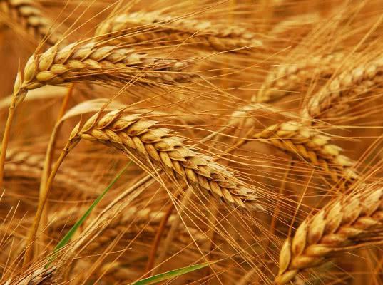 Экспорт пшеницы из России в январе - апреле снизился на 34,7%, до 8,5 млн т
