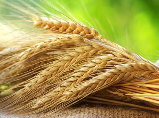 Пшеница начала дешеветь на внутреннем рынке - Обзор прессы