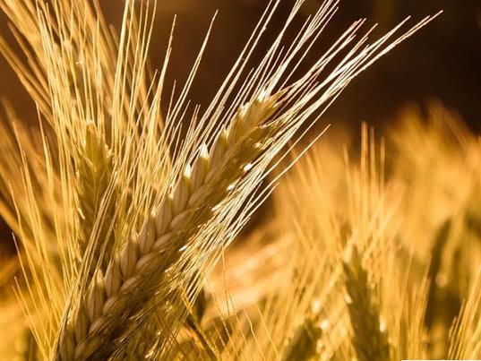 Минсельхоз повысил прогноз по экспорту зерна в текущем сельхозгоду до 44 млн тонн