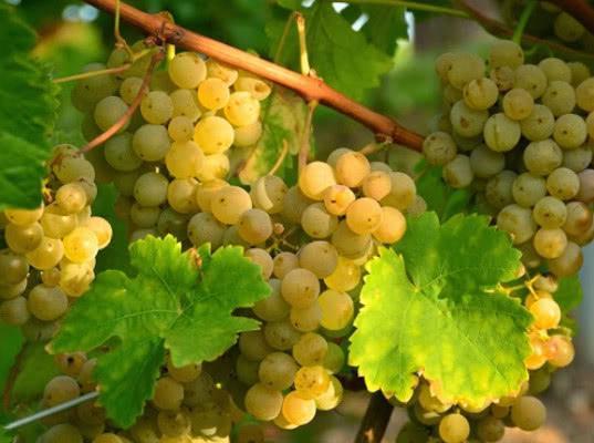 Россельхознадзор выявил в индийском винограде африканскую дынную муху и пестициды - Криминал