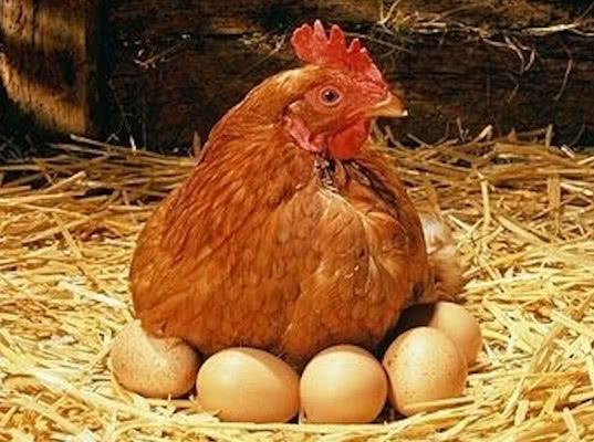 Птицы с яйцами со всей России допущены в ОАЭ