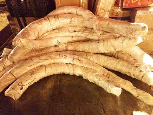 212 кг бивней мамонта задержано в аэропорту Красноярска