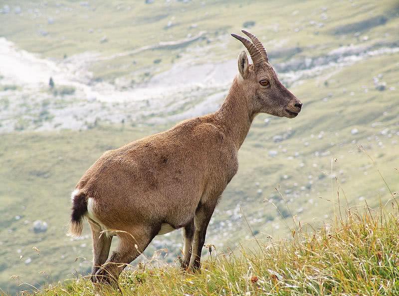 Таможенники обнаружили дериваты - рога дикой козы - Криминал