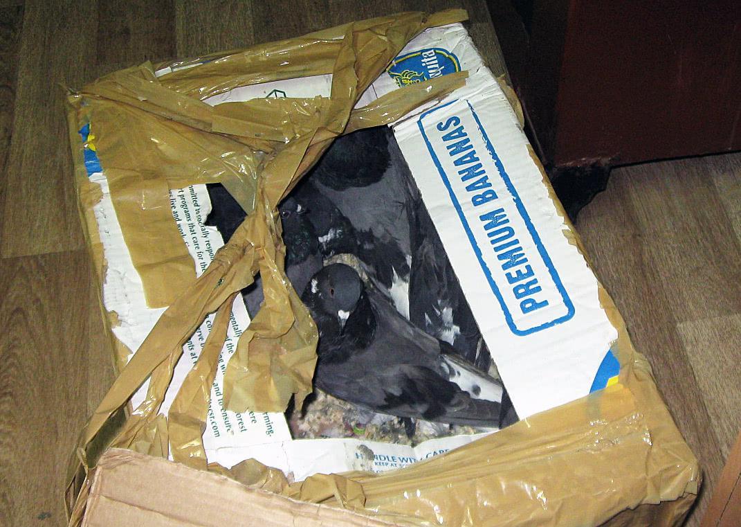 Брянские таможенники обнаружили в багаже пассажира поезда 20 голубей