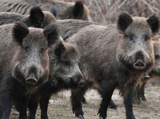 Дикие кабаны доказали Евросоюзу правоту Россельхознадзора относительно АЧС - Новости таможни