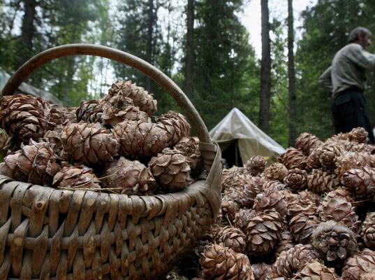 В 2018 году из Приморского края в Китай направлено более 10 тонн кедровых орехов