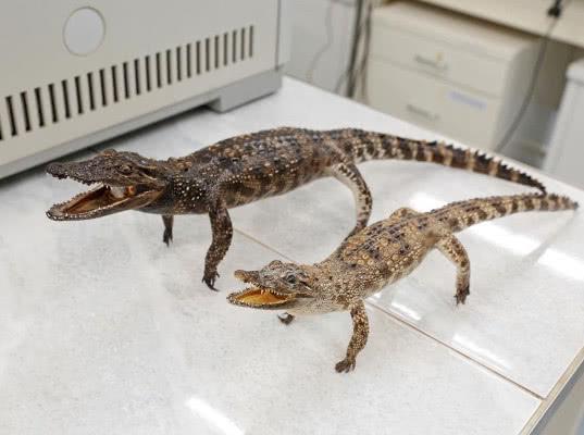 В международном аэропорту Казани изъяли чучела крокодилов, находящихся под защитой СИТЕС