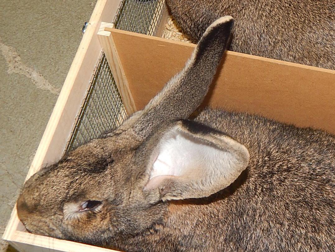 Петербурженка пыталась ввести в страну «непривитых» немецких кроликов