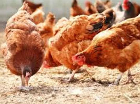 Мексиканские кормовые добавки для птиц вернули в Мексику