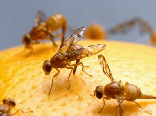 Зараженные мухами апельсины запрещены к ввозу в РФ - Криминал