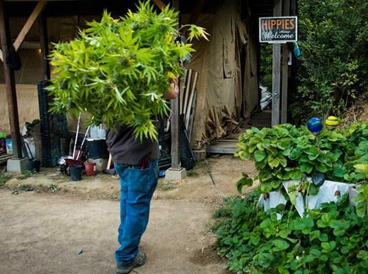 В Канаде легализовали марихуану: к чему приведут новые правила