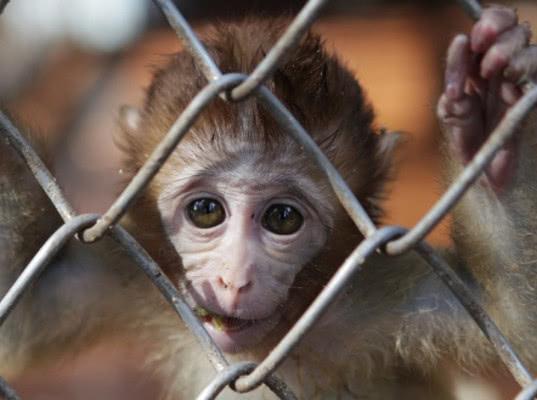 Ввоз армянских приматов на территорию РФ временно запрещен - Новости таможни