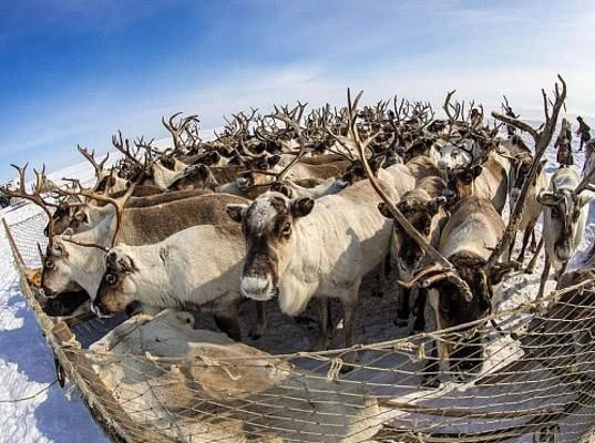Коми планирует поставлять оленину в Финляндию