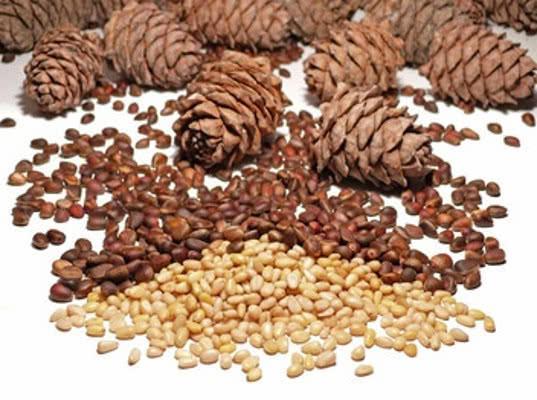 Более 8400 тонн приморских кедровых орехов оформлено на экспорт