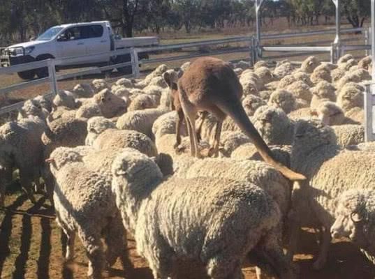 350 овец стали жертвами сибирской язвы в Австралии