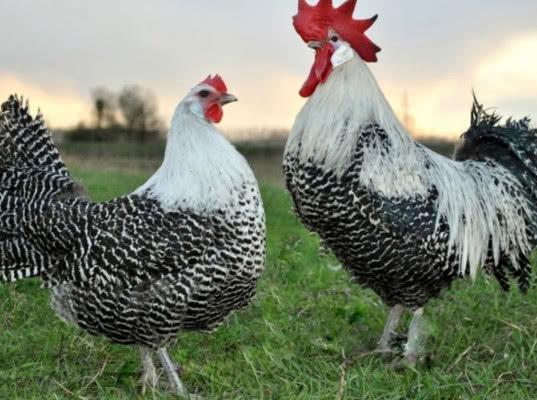 Датские яйца и птицы попали под ограничения