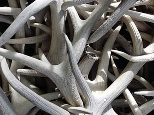 Якутия наращивает экспорт шкурок, рогов и бивней