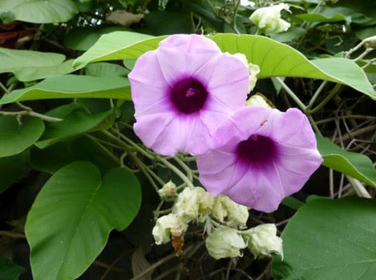 В Смоленской области пресечена попытка контрабанды семян розы гавайской
