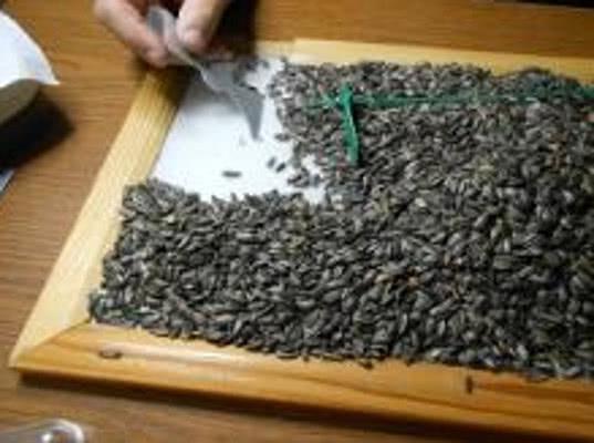 Семена амброзии полыннолистной в подсолнечнике и кукурузе лишат жизнеспособности