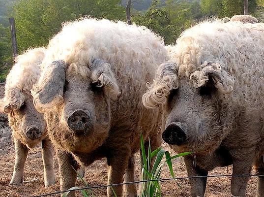 Россельхознадзор наложил ограничения на венгерских свиней - Новости таможни