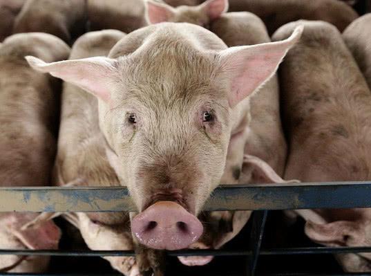Свинья с материкового Китая прибыла в Гонконг с вирусом АЧС - Новости таможни