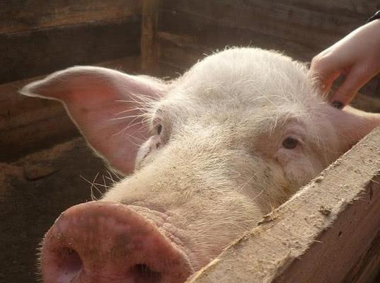 Беларусь запретила ввоз свинины из Ленинградской области из-за вспышки АЧС