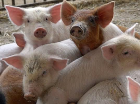 Россельхознадзор поставил заслон сербским свиньям - Новости таможни