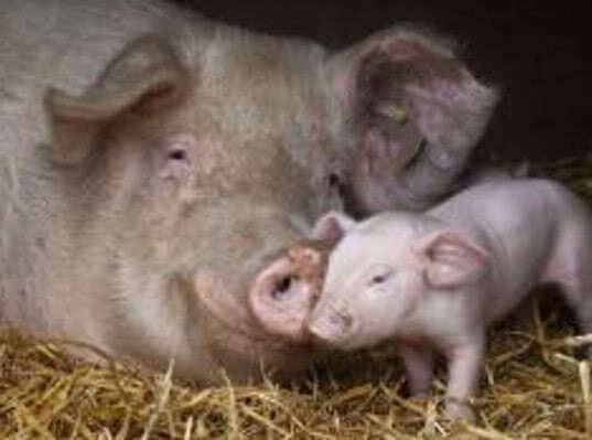 В Камбодже гибнут свиньи от чумы