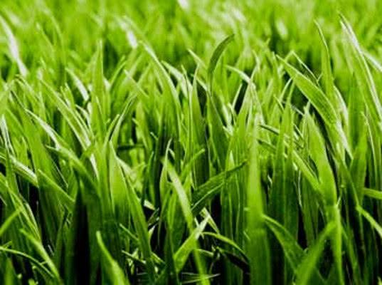 В Псковской области запретили ввоз 20 тонн смеси семян газонных трав из Нидерландов - Криминал