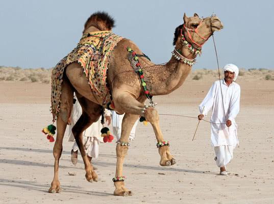 ОАЭ собрались поставлять в РФ продукцию из молока одногорбых верблюдов