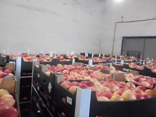 Курские таможенники обнаружили более 1,5 тонн лишних яблок