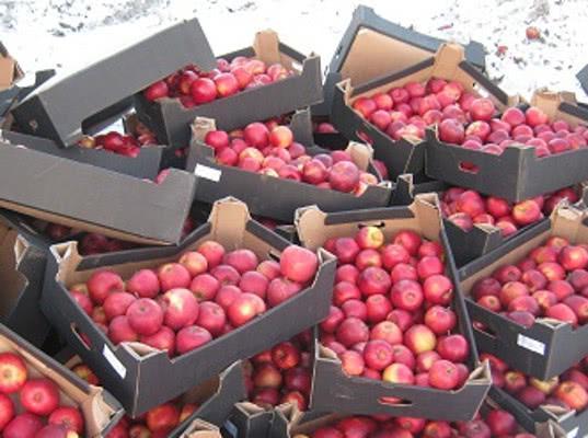Больше тонны польских яблок уничтожили в Кургане