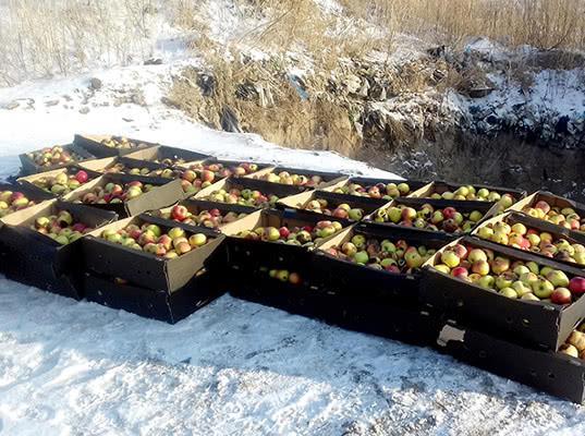 В Красноярском крае уничтожено более 1 тонны яблок, запрещенных к ввозу - Криминал