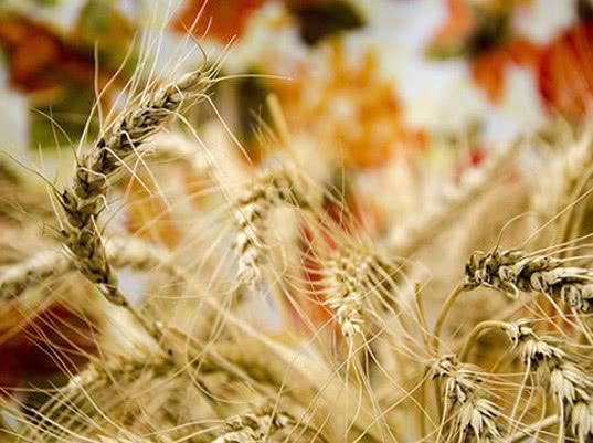 Минсельхоз не рассматривает возможность введения ограничений на экспорт зерна из России