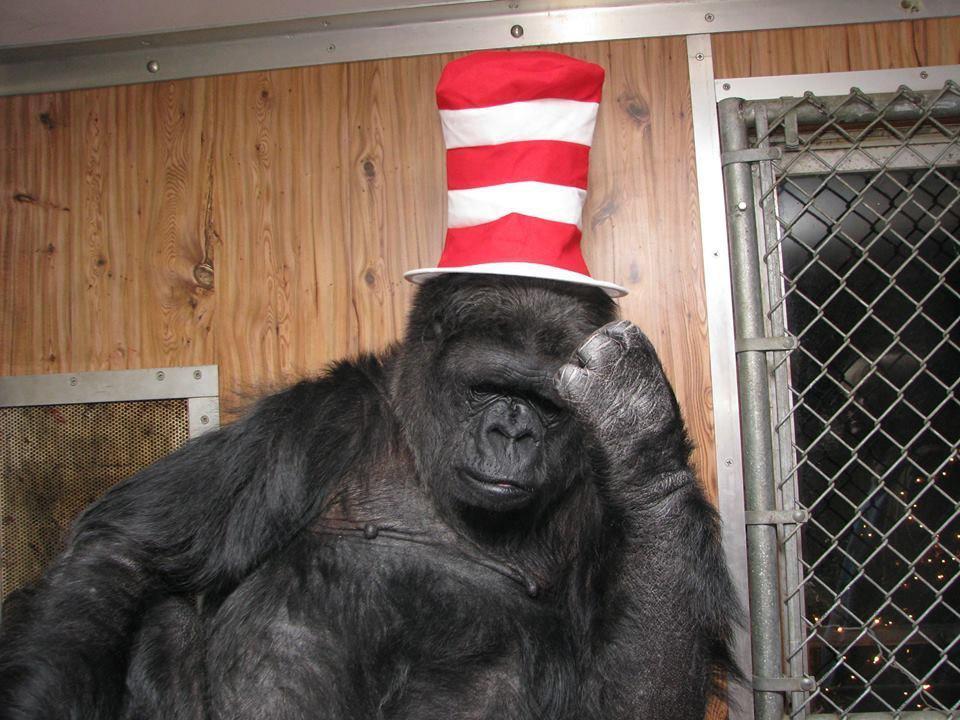 В Калифорнии умерла горилла Коко, которая освоила язык жестов - Экономика и общество
