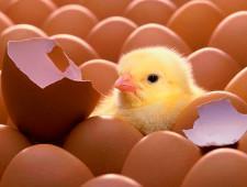 В аэропорту Пулково задержаны 8400 инкубационных яиц из Германии