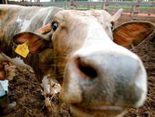 Бразильских коров поймали на допинге: что будет с ценами на мясо в России
