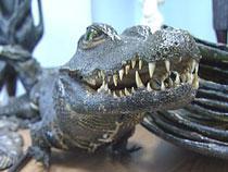 В ярославском аэропорту обнаружены чучела крокодилов и панцири черепах - Кримимнал - TKS.RU