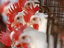 Казахстан продлил запрет на ввоз курицы из России - Новости таможни