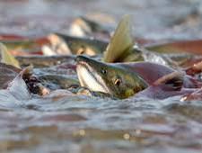 С начала путины Камчатка отправила на экспорт 17 тысяч тонн лосося - Новости таможни