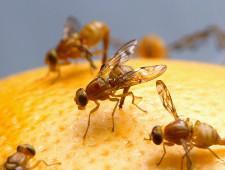 В апельсинах из Аргентины обнаружена плодовая муха