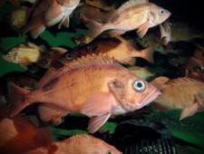 Россельхознадзор приостановил поставки рыбы с предприятий Турции и Гренландии - Обзор прессы
