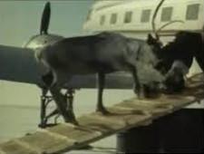 «Полярные авиалинии» организовали авиаперевозку оленей - Логистика - TKS.RU