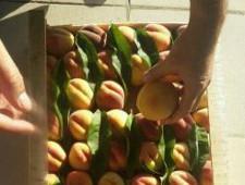 17300 кг зараженных персиков из Азербайджана задержали в Дагестане