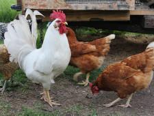 Россельхознадзор запретил экспорт мяса птицы из шести российских регионов