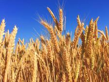 ФТС: экспорт пшеницы в Турцию через юг РФ начал сокращаться еще до введения пошлины - Обзор прессы