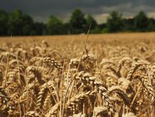 Минсельхоз РФ подтвердил прогноз по экспорту зерновых на уровне 45 млн тонн - Новости таможни