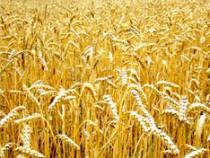 Эксперты не исключили отмену экспортной пошлины на пшеницу - Новости таможни